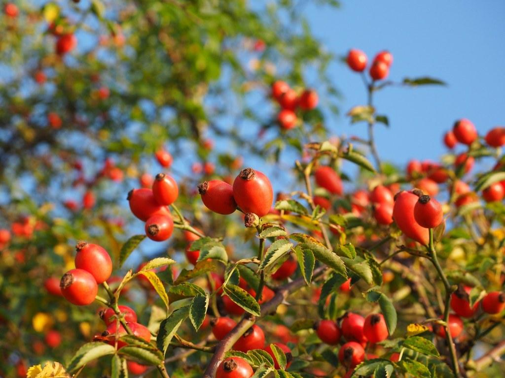 rose-hip-blossom